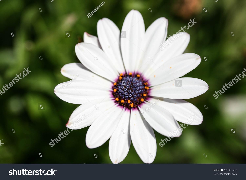White Flower Purple Center Stock Photo Edit Now 527417239