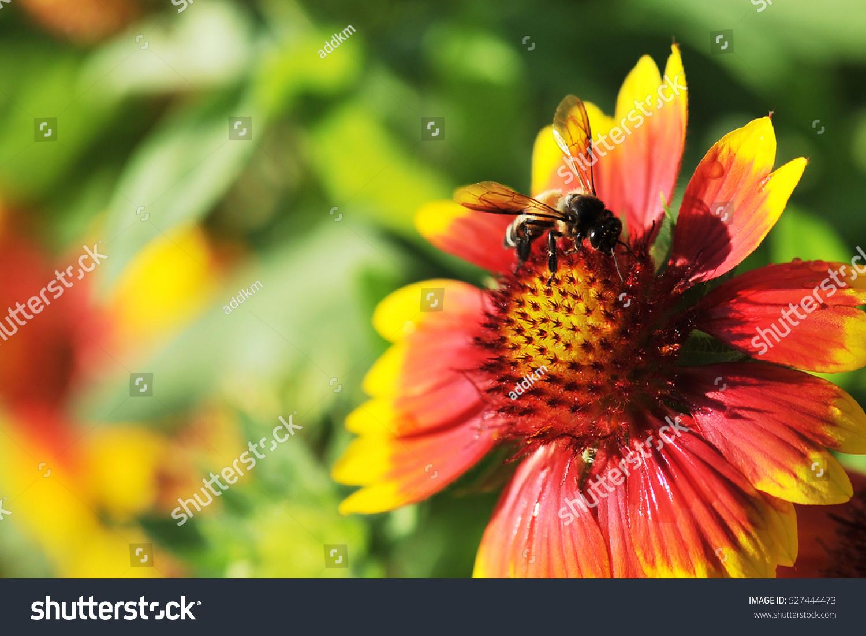 Honeybee On Gaillardia Pulchella Foug Blanket Flower Ez Canvas