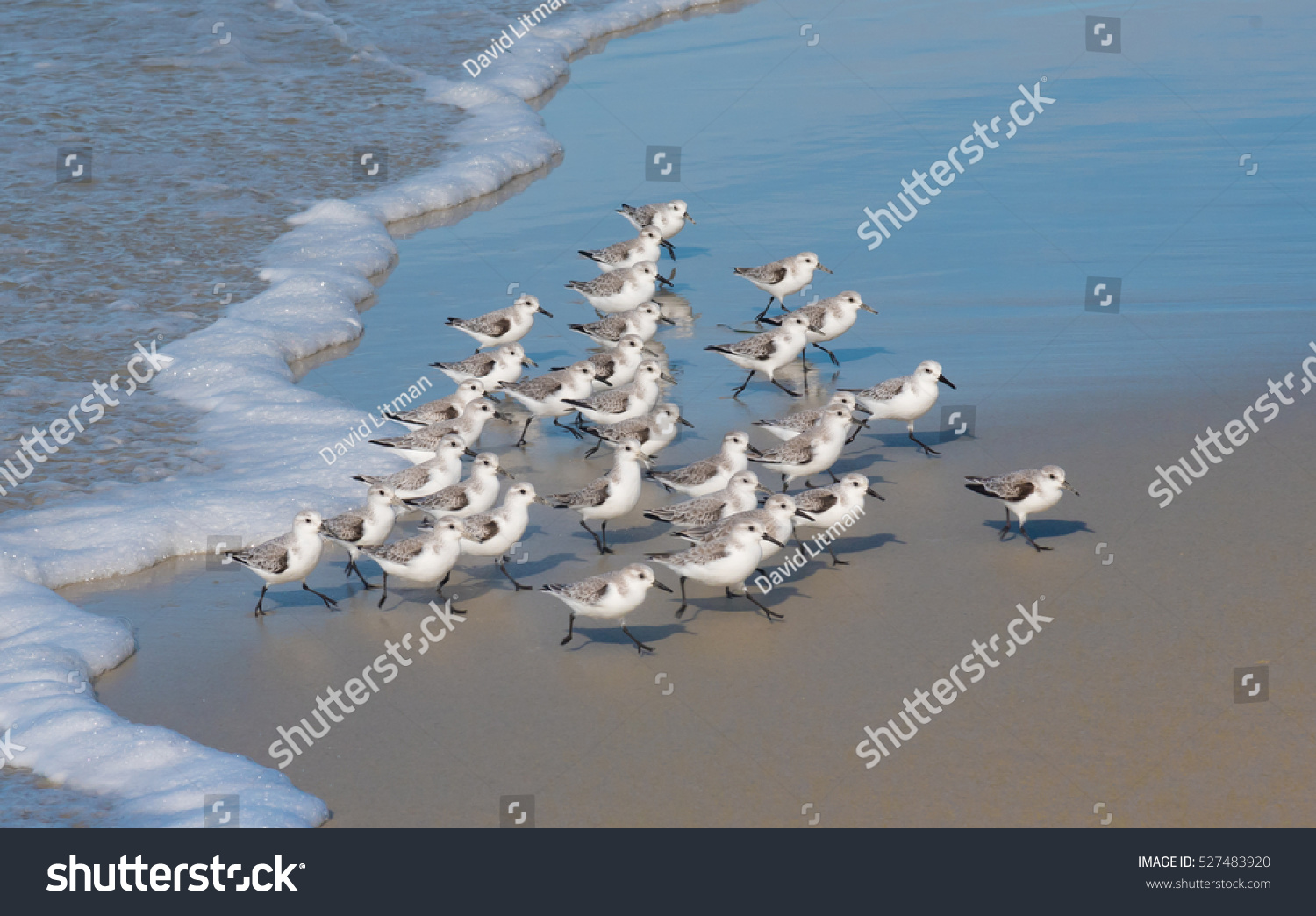 A flock of Western Snowy Plovers (Charadrius nivosus) run along the shore of the Monterey Peninsula in central California.  This threatened population nests in the nearby coastal sand dunes.