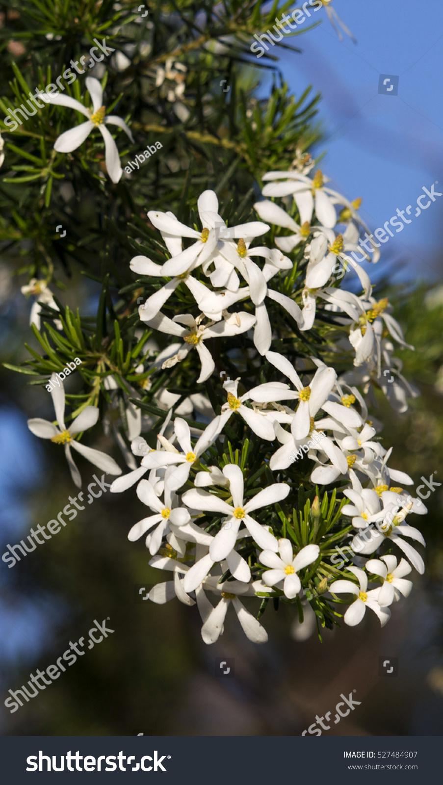 White four petalled fragrant evergreen… Stock Photo