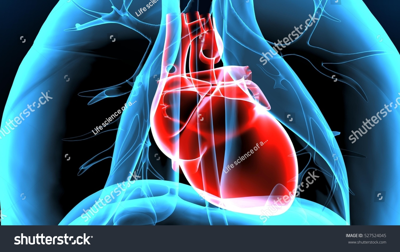 3 D Illustration Human Body Lungs Stock Illustration 527524045 ...