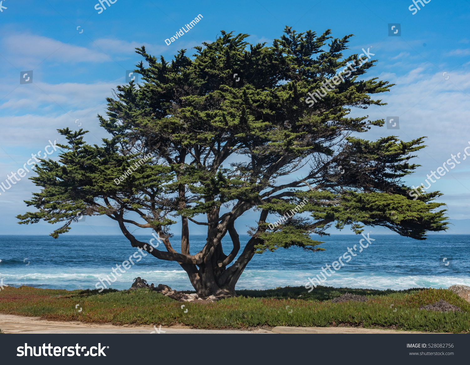 A lone Monterey Cypress tree (Cupressus macrocarpa) stands along the beach of the rocky Pacific Coast of Monterey Bay in central California.