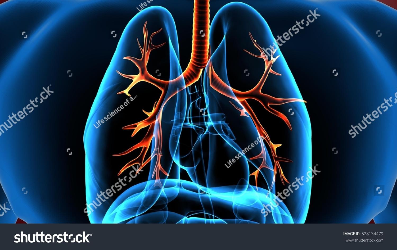3 D Illustration Human Body Lungs Stock Illustration 528134479 ...