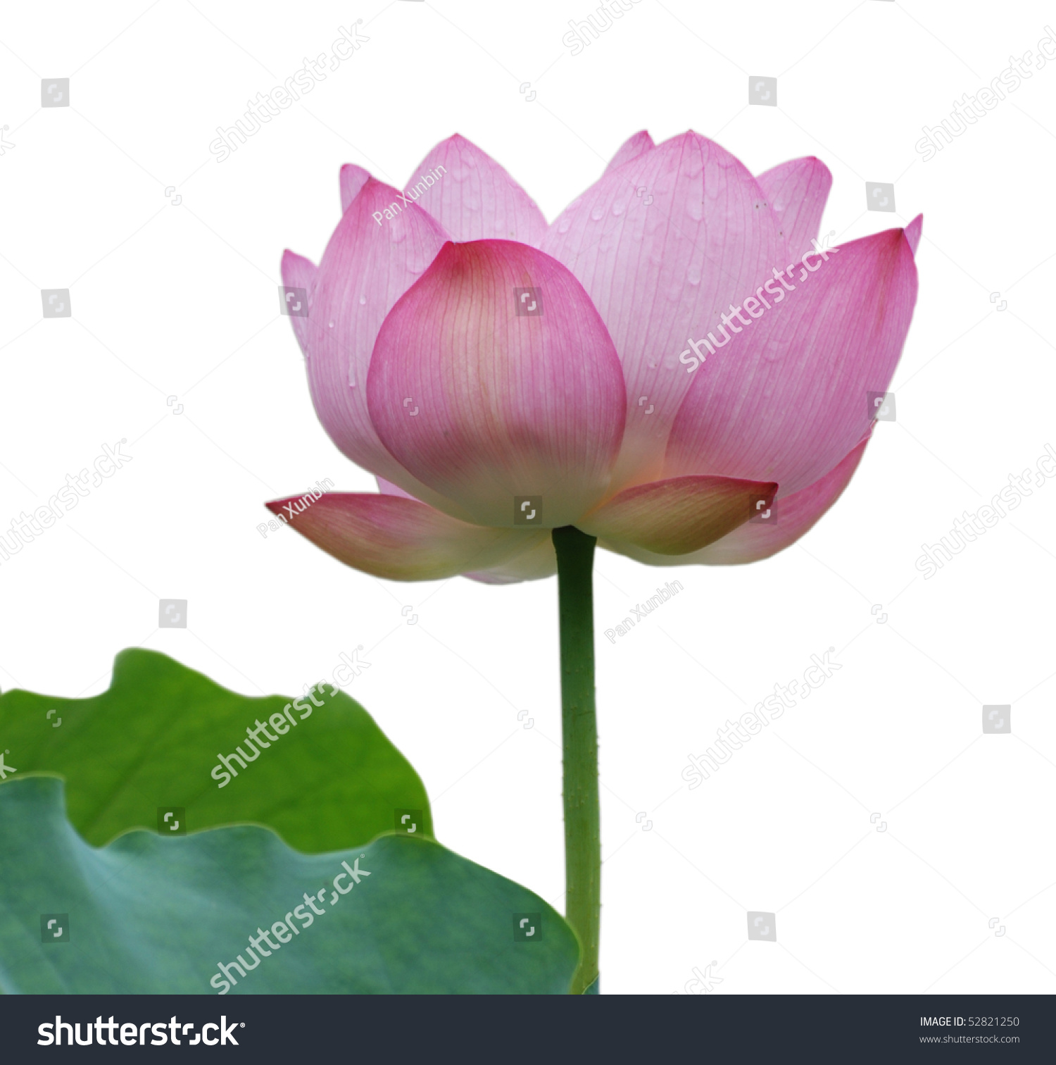 Lotus flower isolated on white background stock photo royalty free lotus flower isolated on white background izmirmasajfo