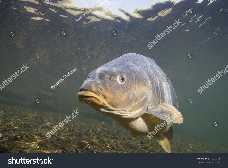 Freshwater carp - photo#27