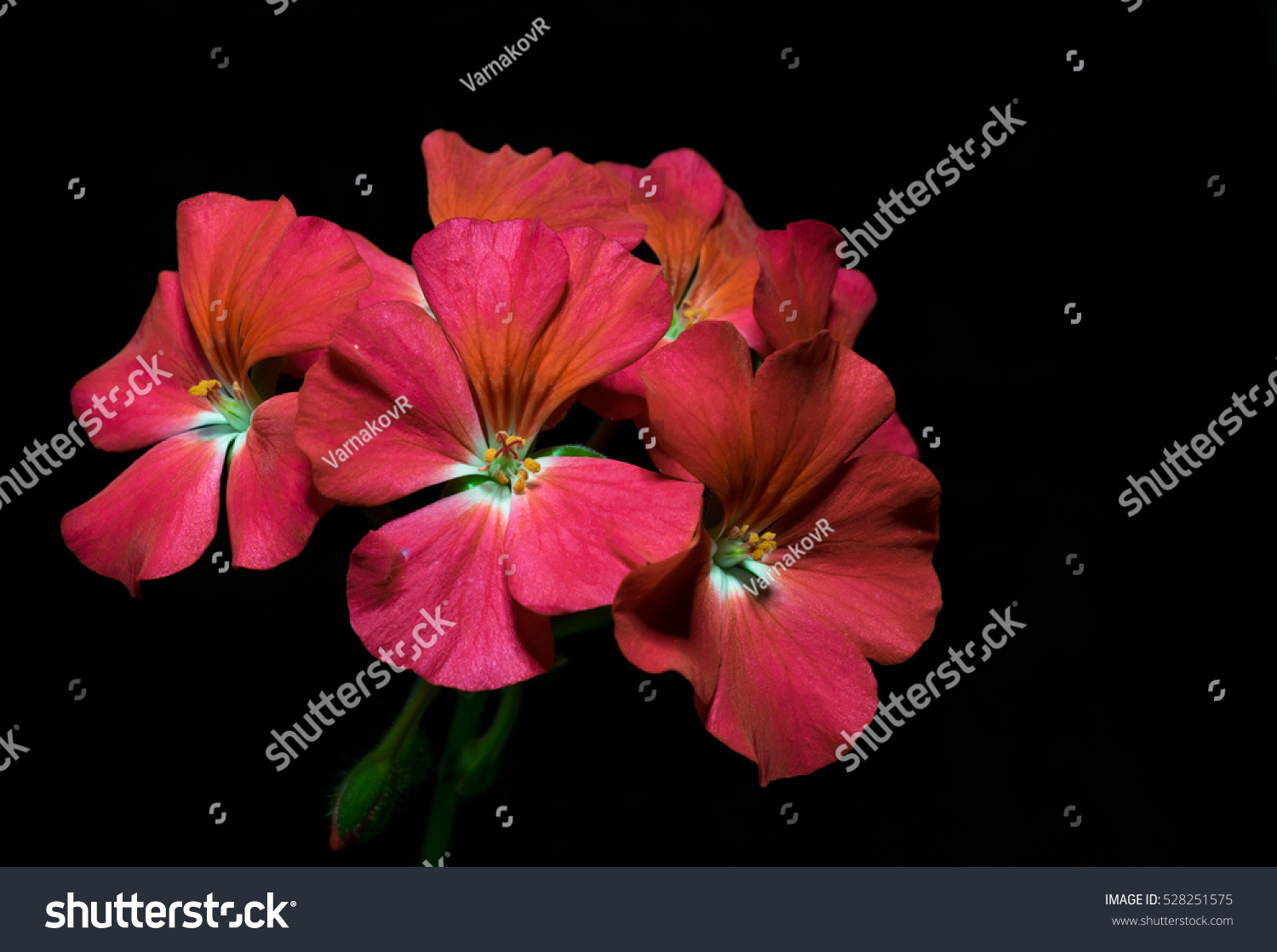 Bouquet Red Geranium Flowers On Black Stock Photo Royalty Free