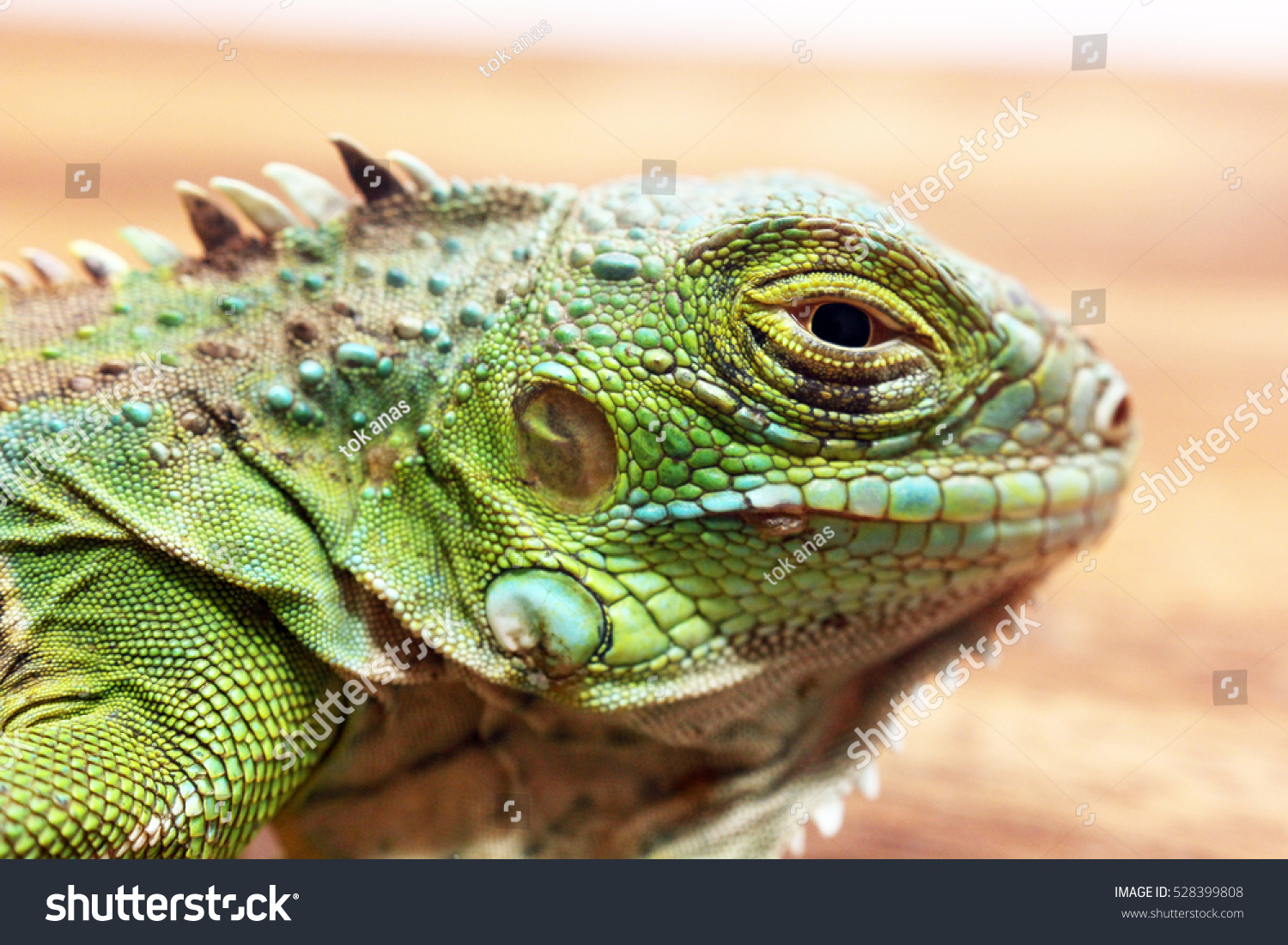 green iguana stock photo 528399808 shutterstock