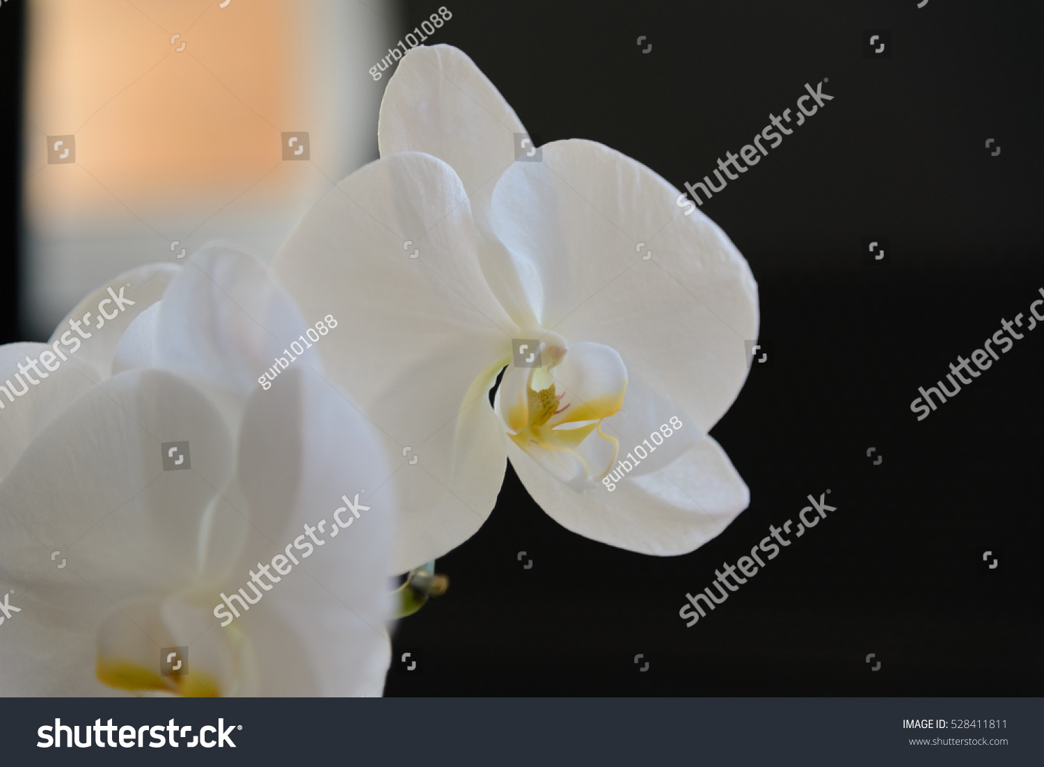 White Orchid Flower With Black Background Ez Canvas