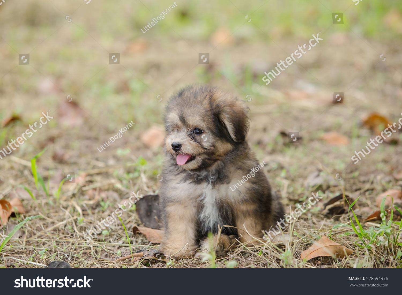 Shih Tzu Mix Pomeranian Puppy Dog Stock Photo Edit Now 528594976