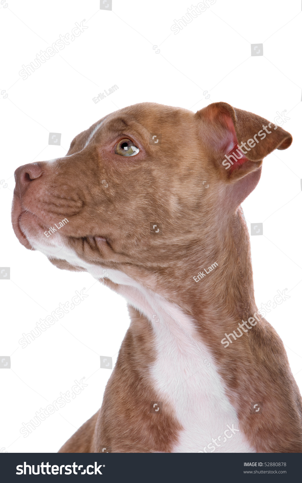 how to raise a red nose pitbull puppy