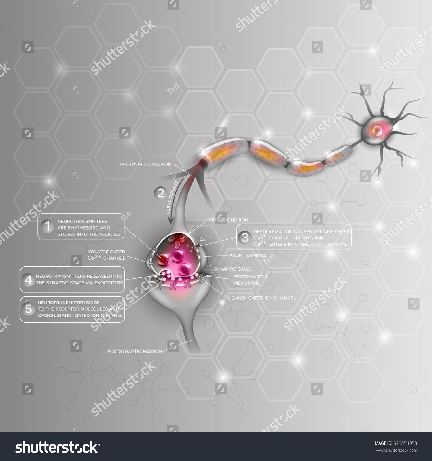Synapse Detailed Anatomy Beautiful Colorful Illustration Stock ...