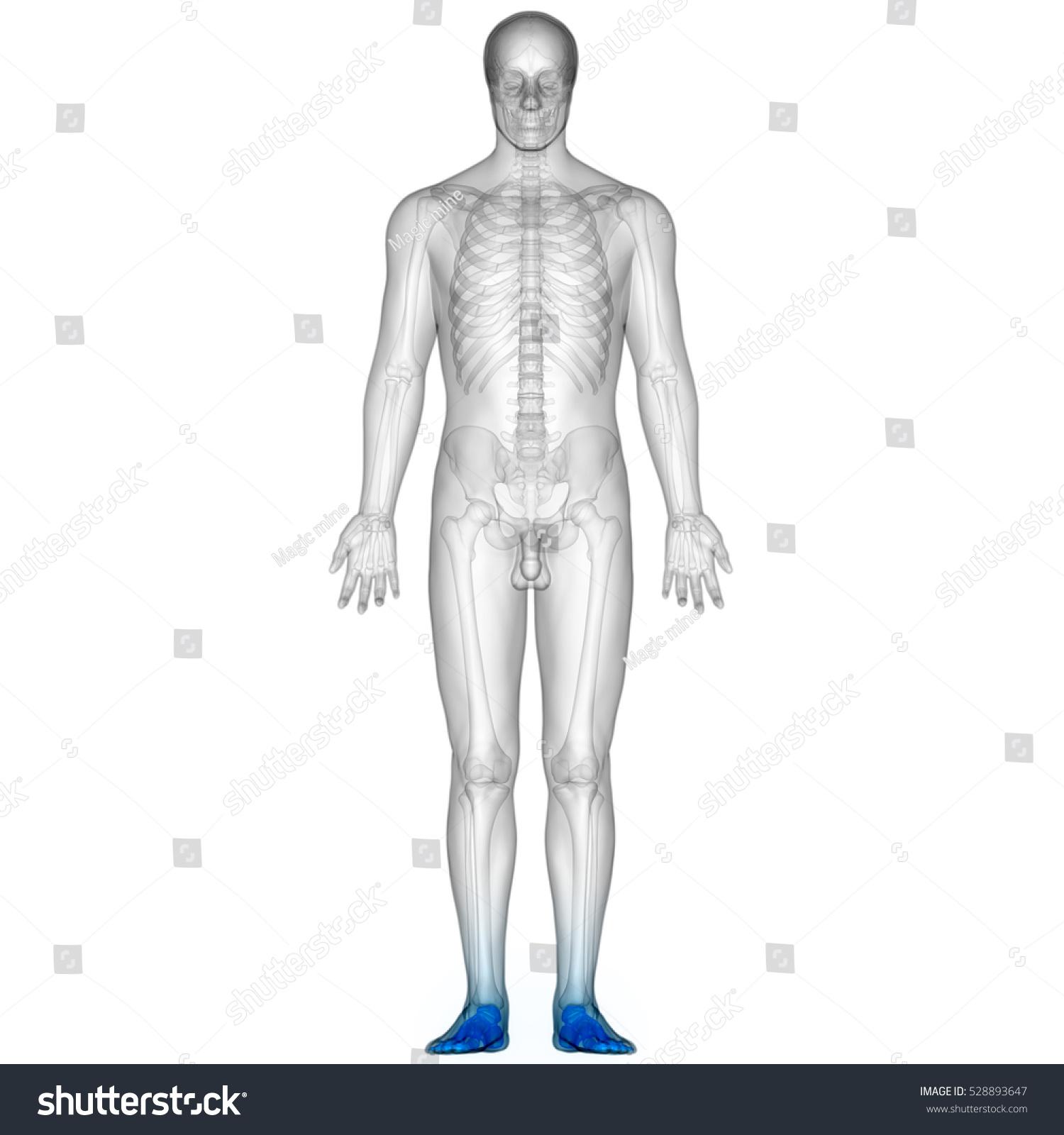 Human Body Bone Joint Pains Foot Stock Illustration 528893647
