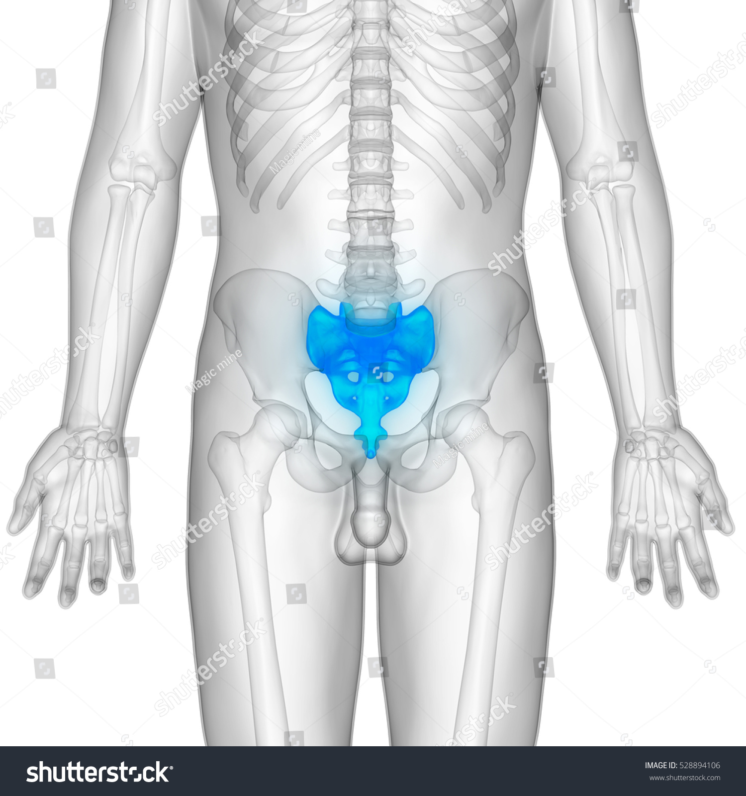Human Body Bones Anatomy Sacrum Bone Stock Illustration 528894106