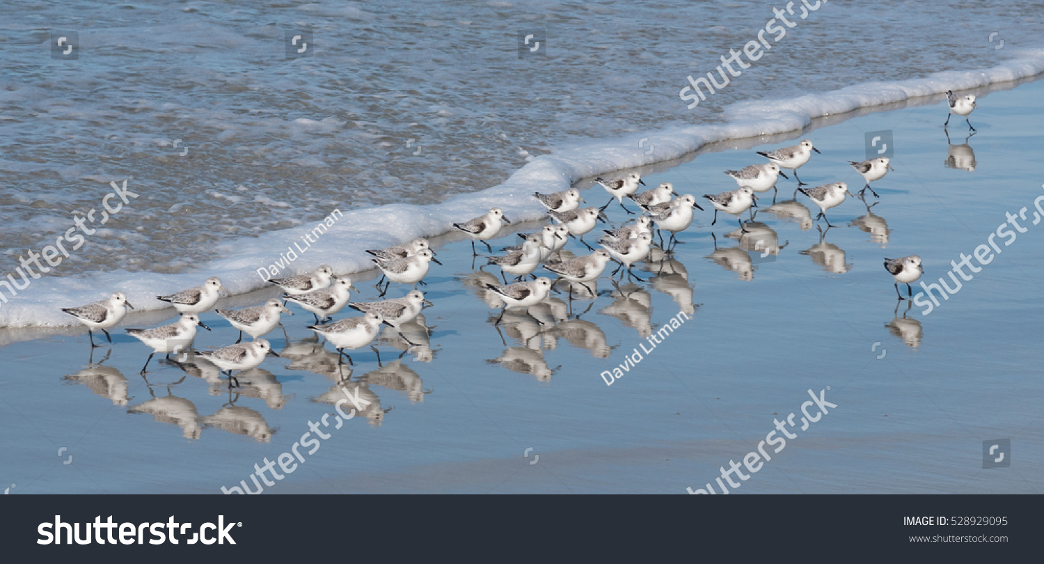 A flock of Western Snowy Plovers (Charadrius nivosus) run along the shore of the Monterey Peninsula in central California. This threatened population nests in the nearby protected coastal sand dunes.