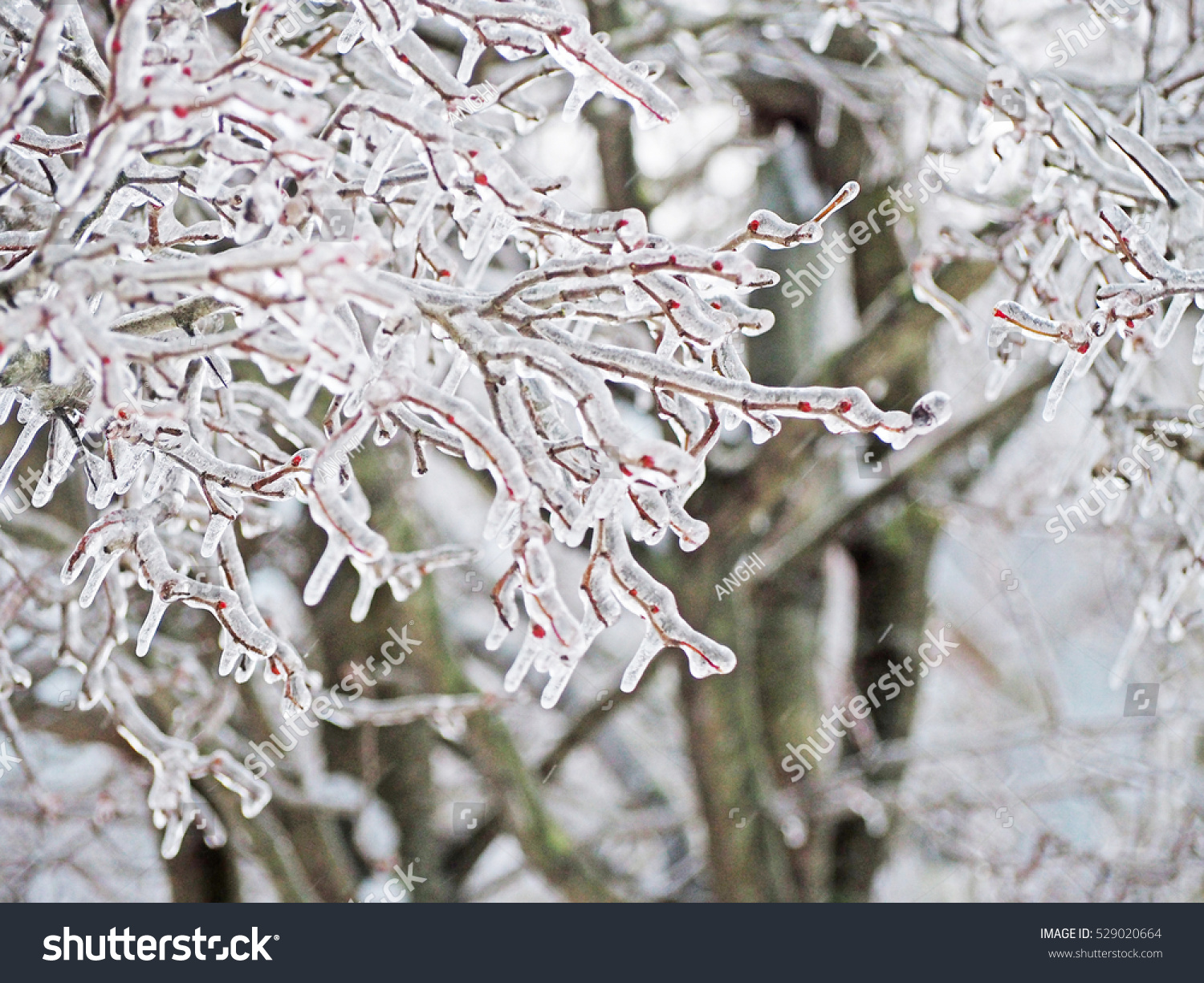 Branches Tree After Sleet Ice Crust Stock Photo (Edit Now) 529020664 ...