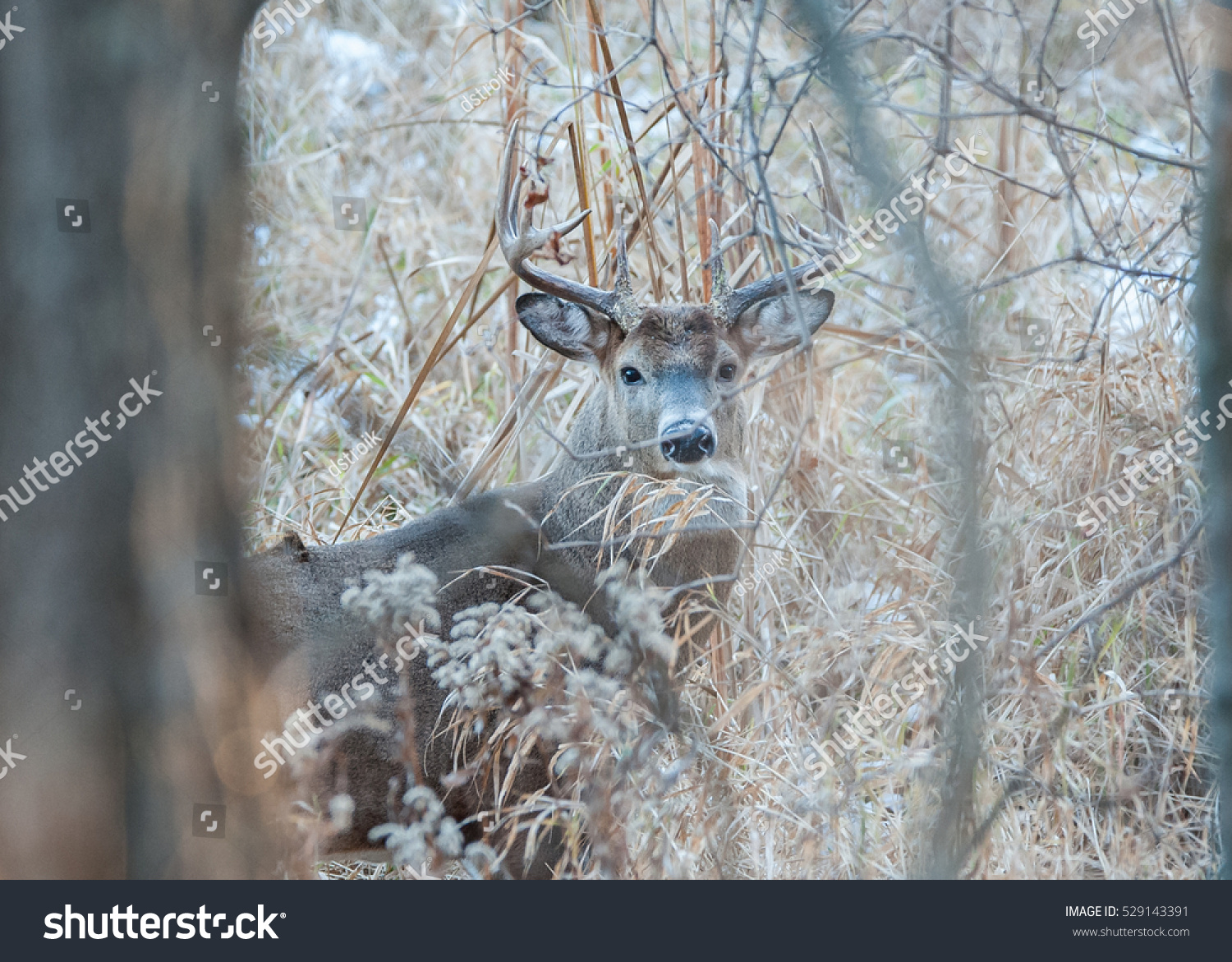 the buck in the snow