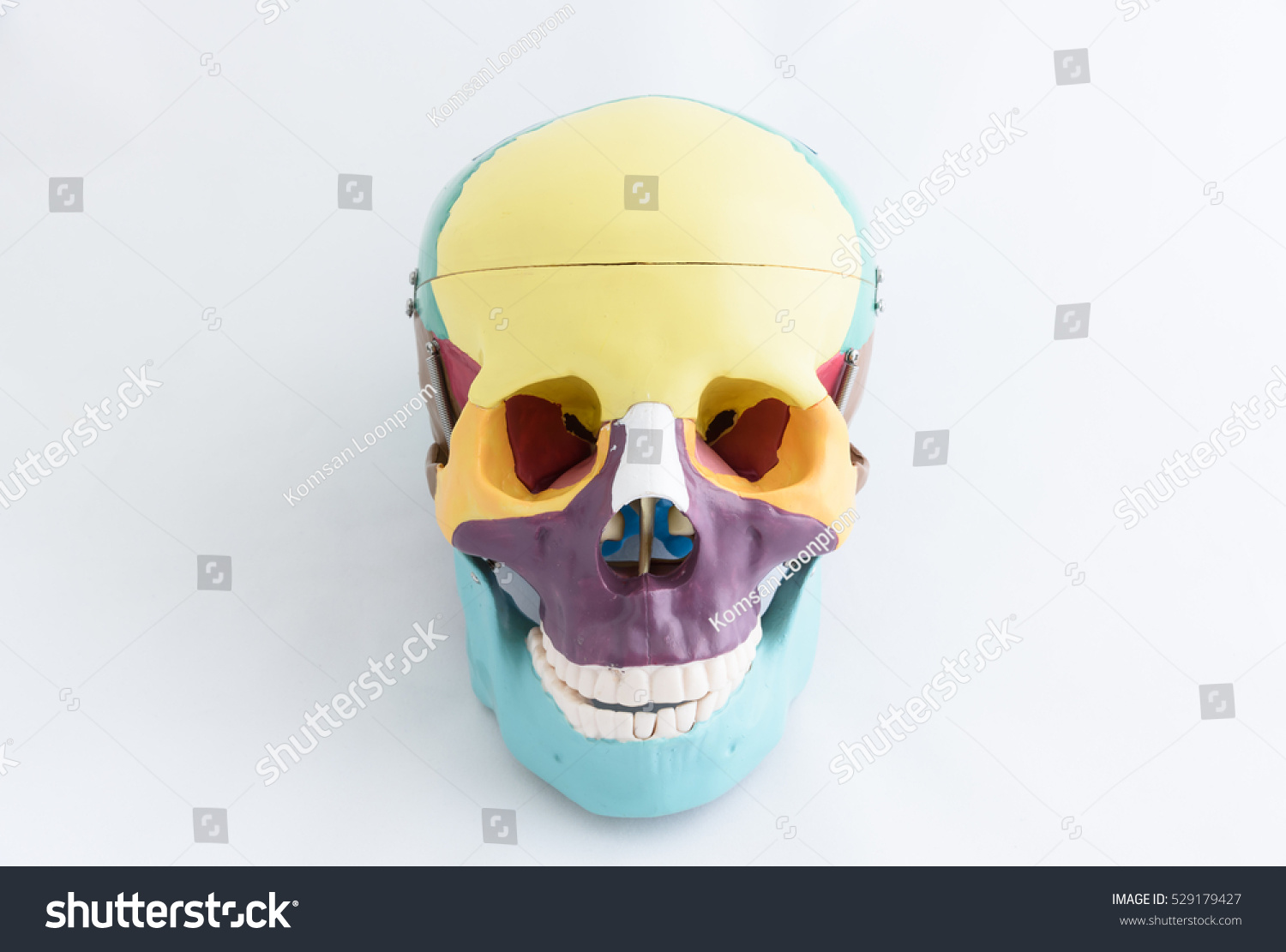 Anatomy Two Human Skull Model On Stock Photo Edit Now 529179427