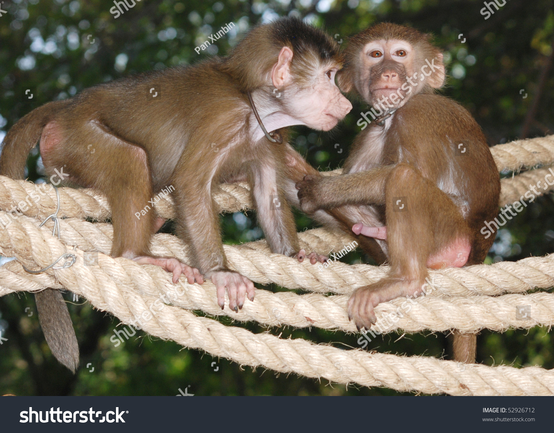 Мавпи трахаются