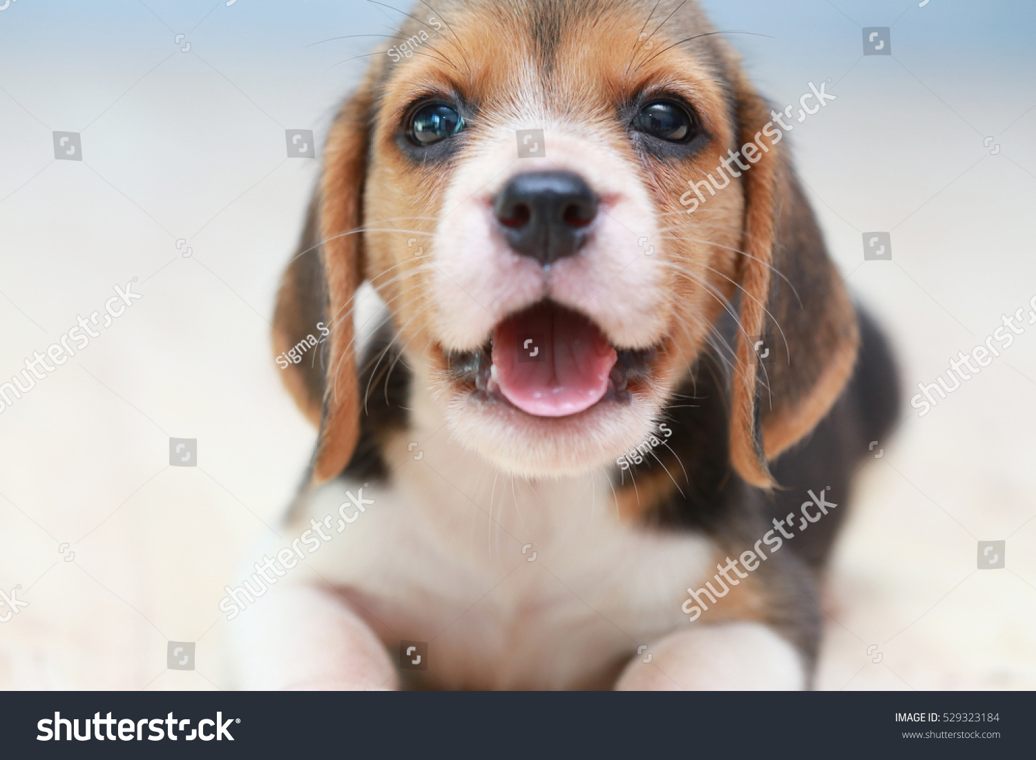 Small cute beagle puppy dog looking 529323184 shutterstock small cute beagle puppy dog looking up voltagebd Gallery