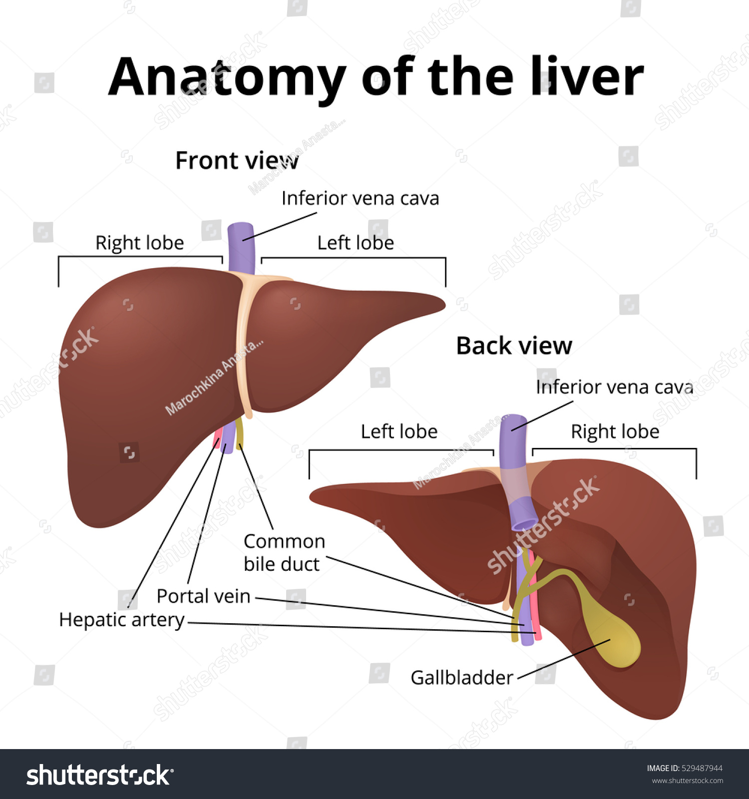 Human Organ Liver Front Rear Location Stock Vector Royalty Free