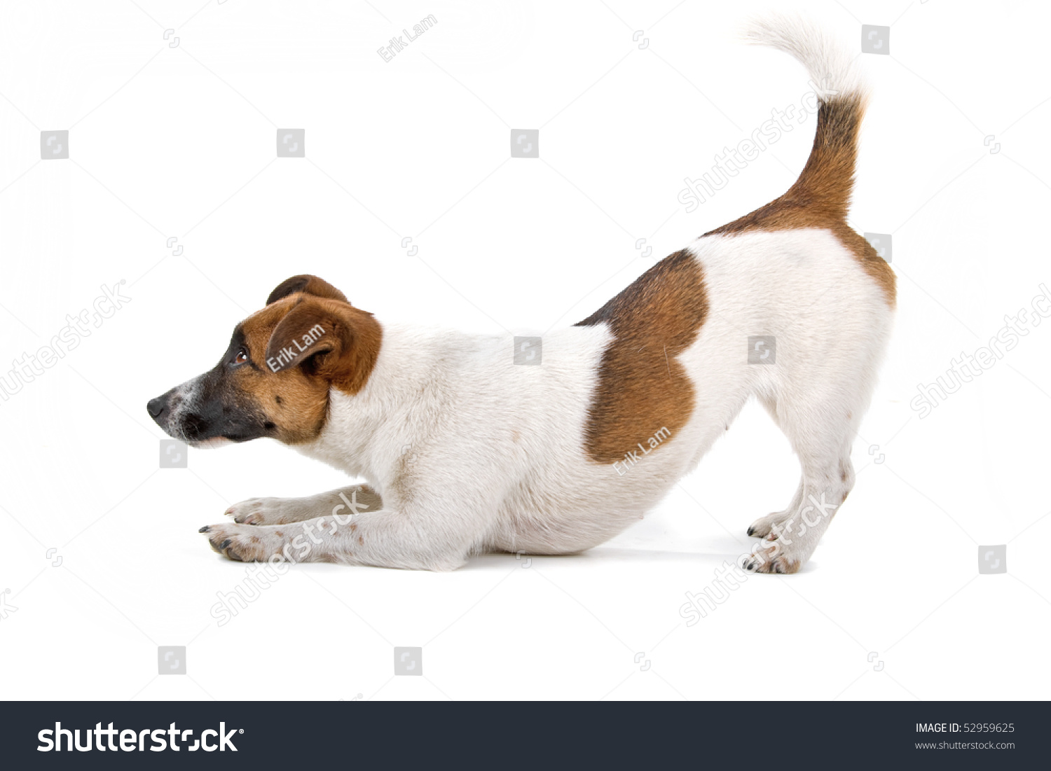 jack russel terrier dog on a white background #52959625