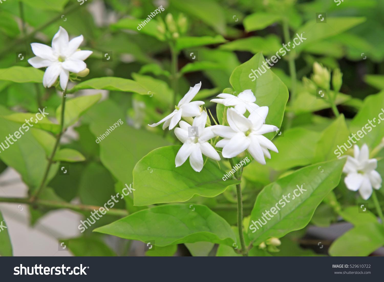 Arabian Jasmine Flower Ez Canvas