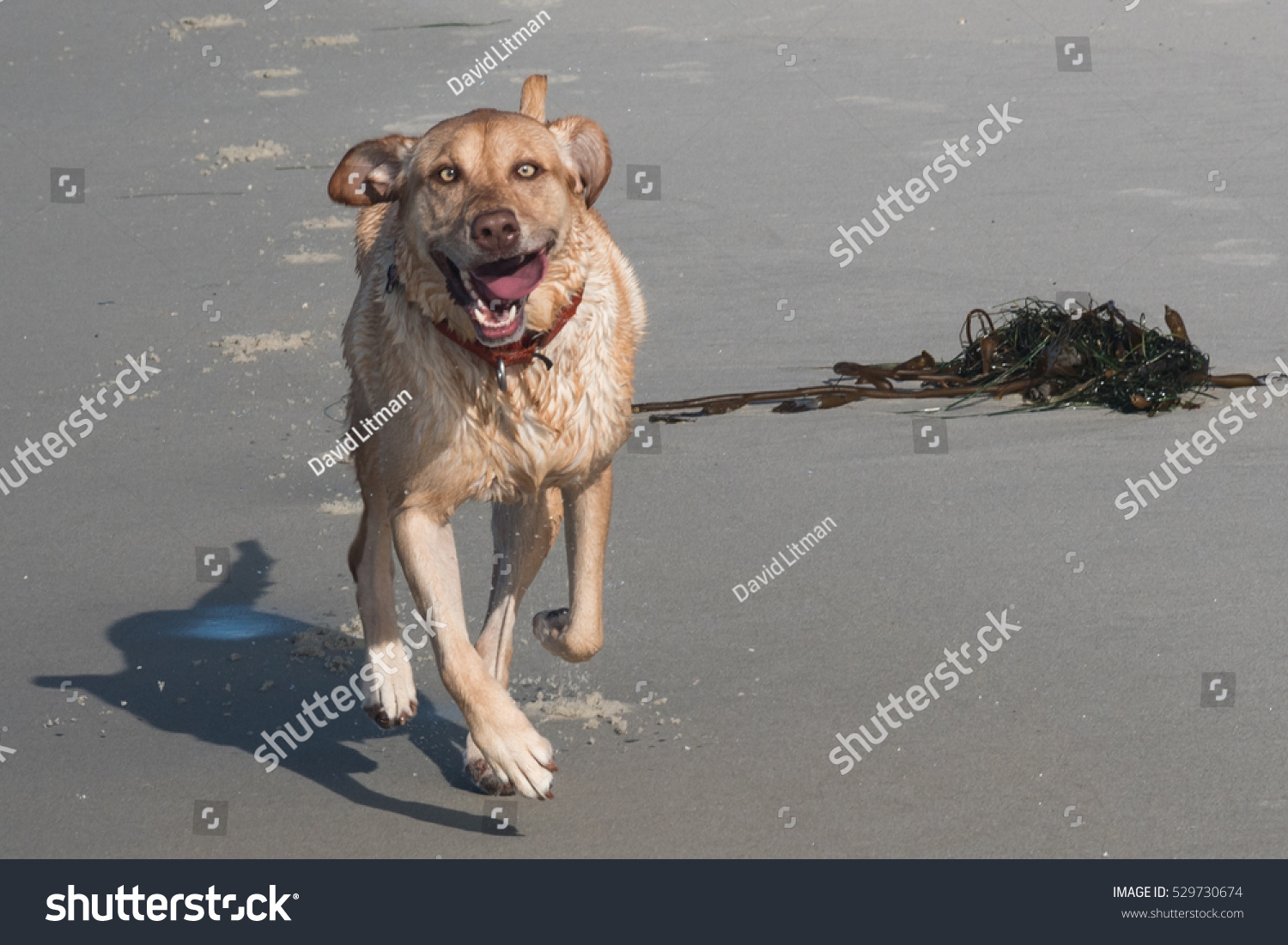A happy yellow Labrador (lab) retriever runs off leash on the famous dog friendly beach in Carmel by the Sea, California