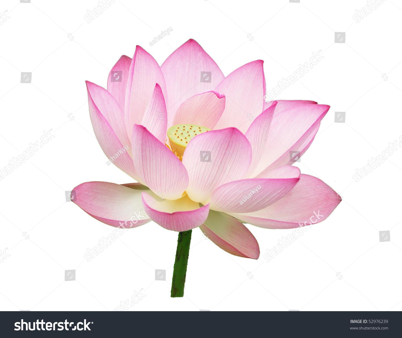 Blooming lotus flower ez canvas id 52976239 izmirmasajfo