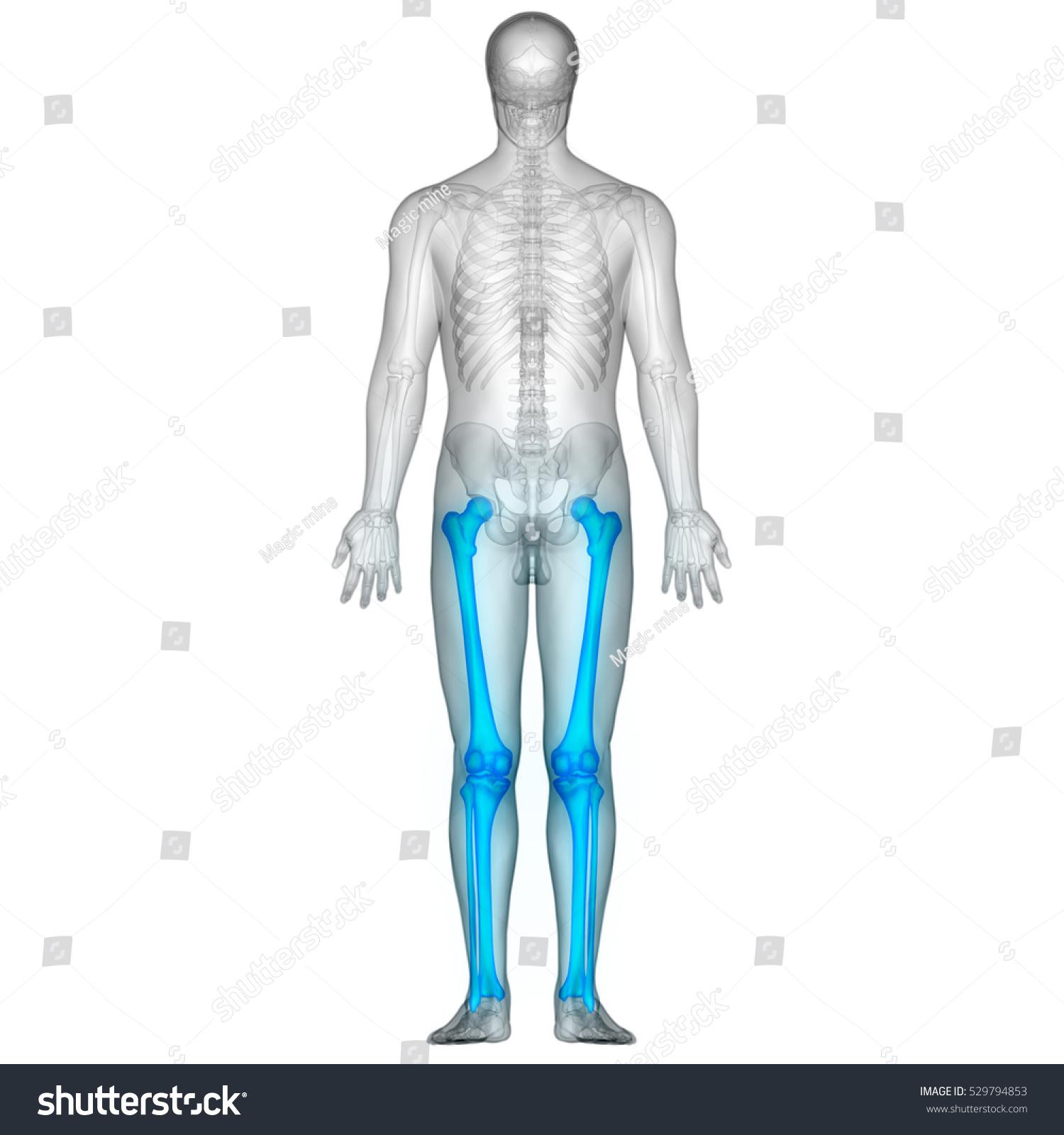 Human Body Bone Joint Pains Leg Stock Illustration 529794853
