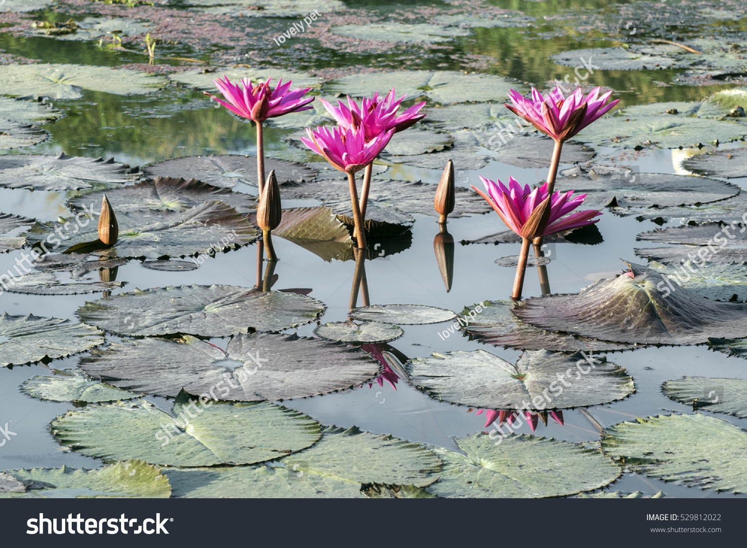 Blossom Red Lotus Flower Water Lily Stock Photo Edit Now 529812022