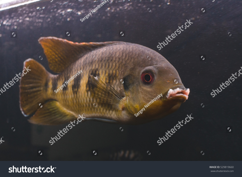 Tilapia predatory fish aquarium stock photo 529819660 for Tilapia aquarium