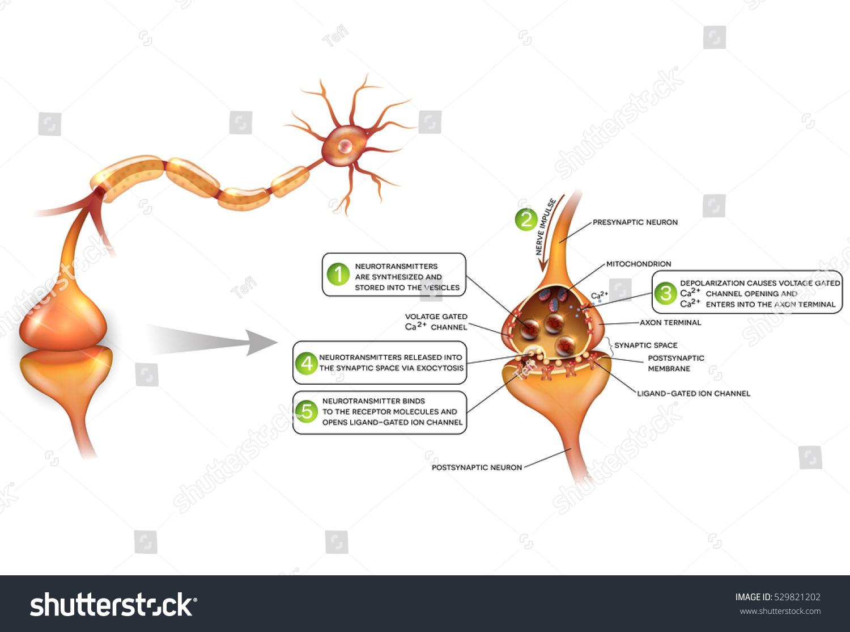 Neurons Closeup Synapse Detailed Anatomy Beautiful Stock