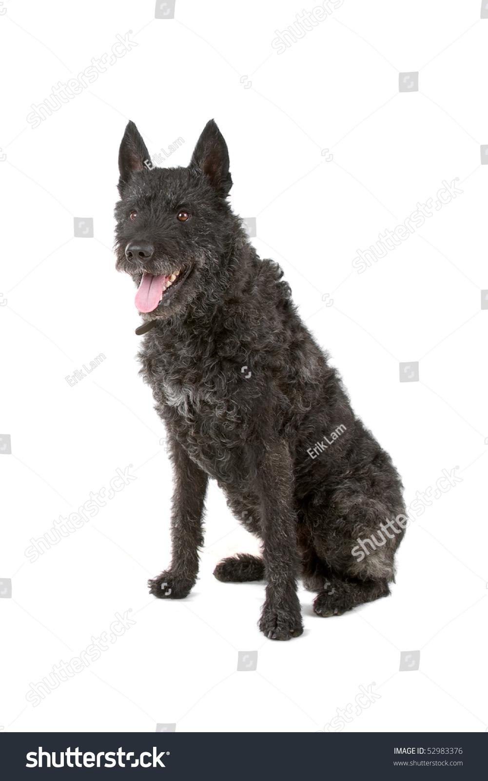 Black Wire Haired Dutch Shepherd Dog Stock Photo (Royalty Free ...