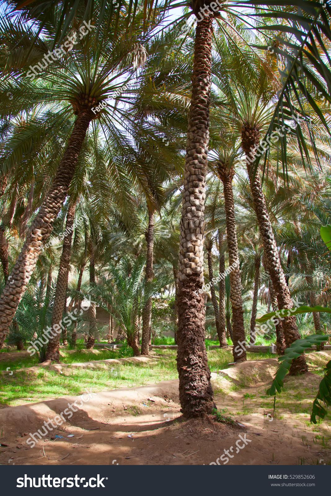 Palm Garden Al Ain Oasis Stock Photo 529852606 Shutterstock