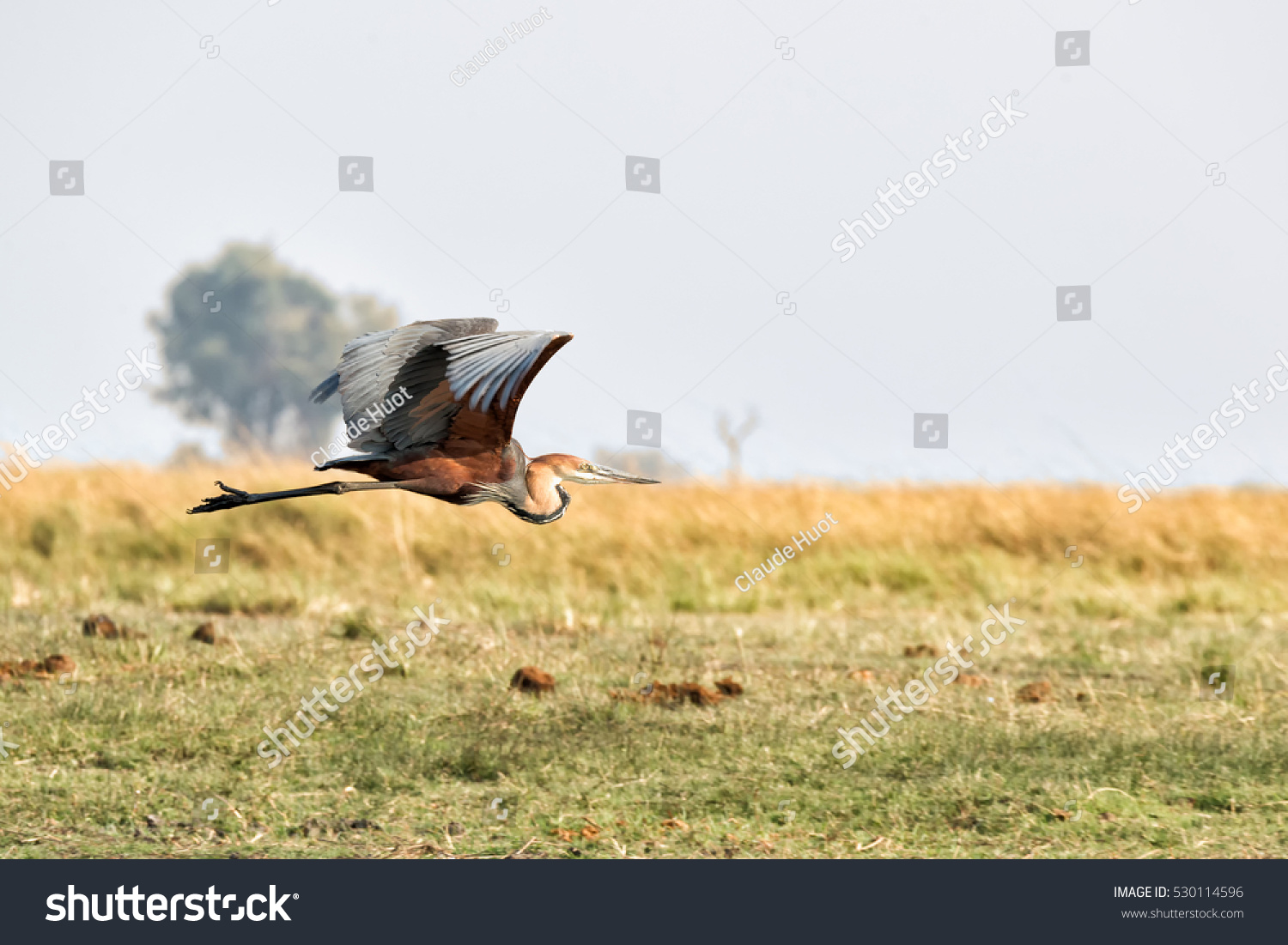 A Goliath heron (Ardea goliath) flies over the Chobe river between Namibia and Botswana. This is the world's largest heron.