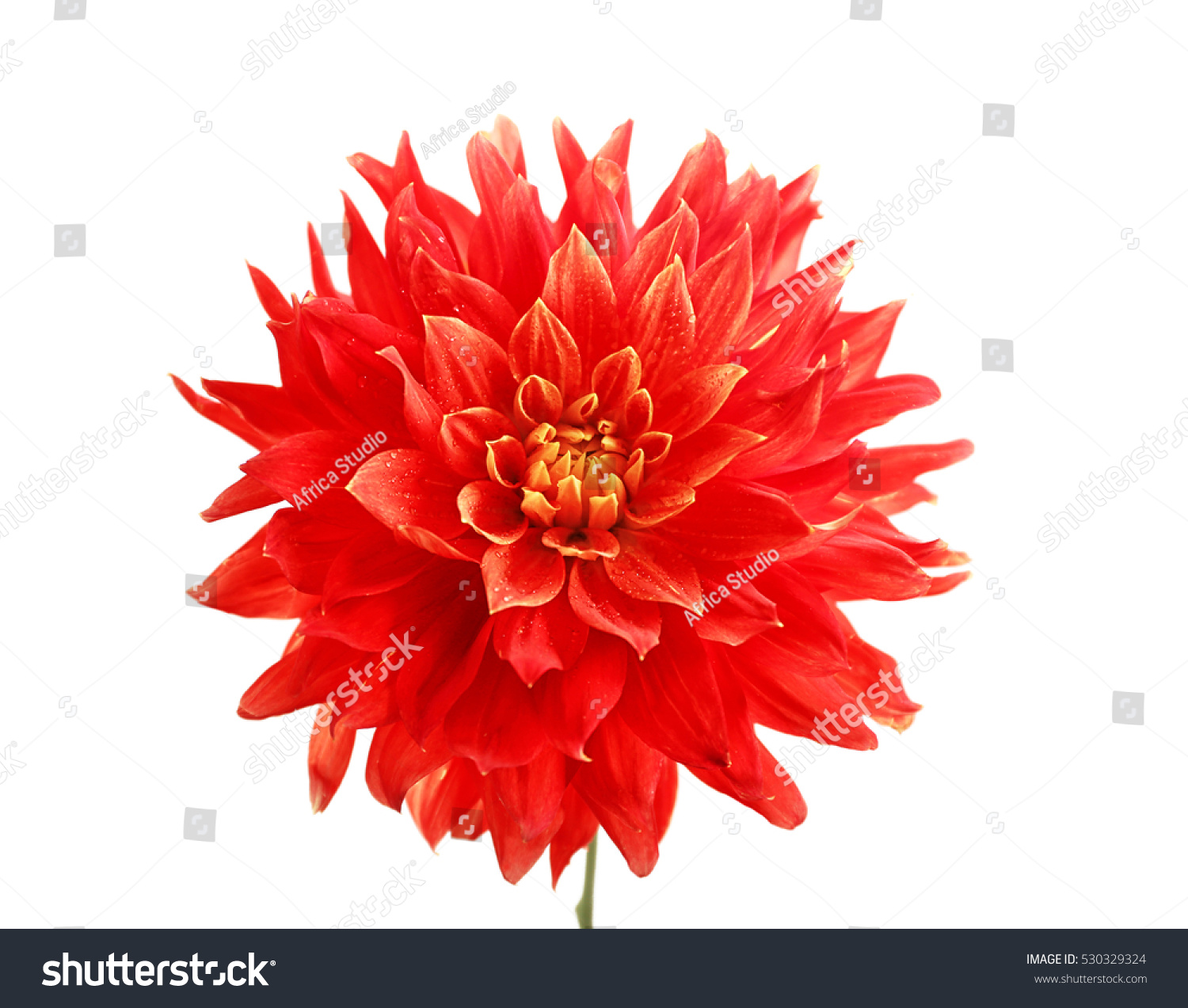 Beautiful Red Dahlia Flower Isolated On White Ez Canvas
