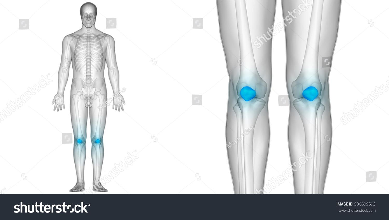 Human Body Bone Joint Pains Patella Stock Illustration 530609593 ...