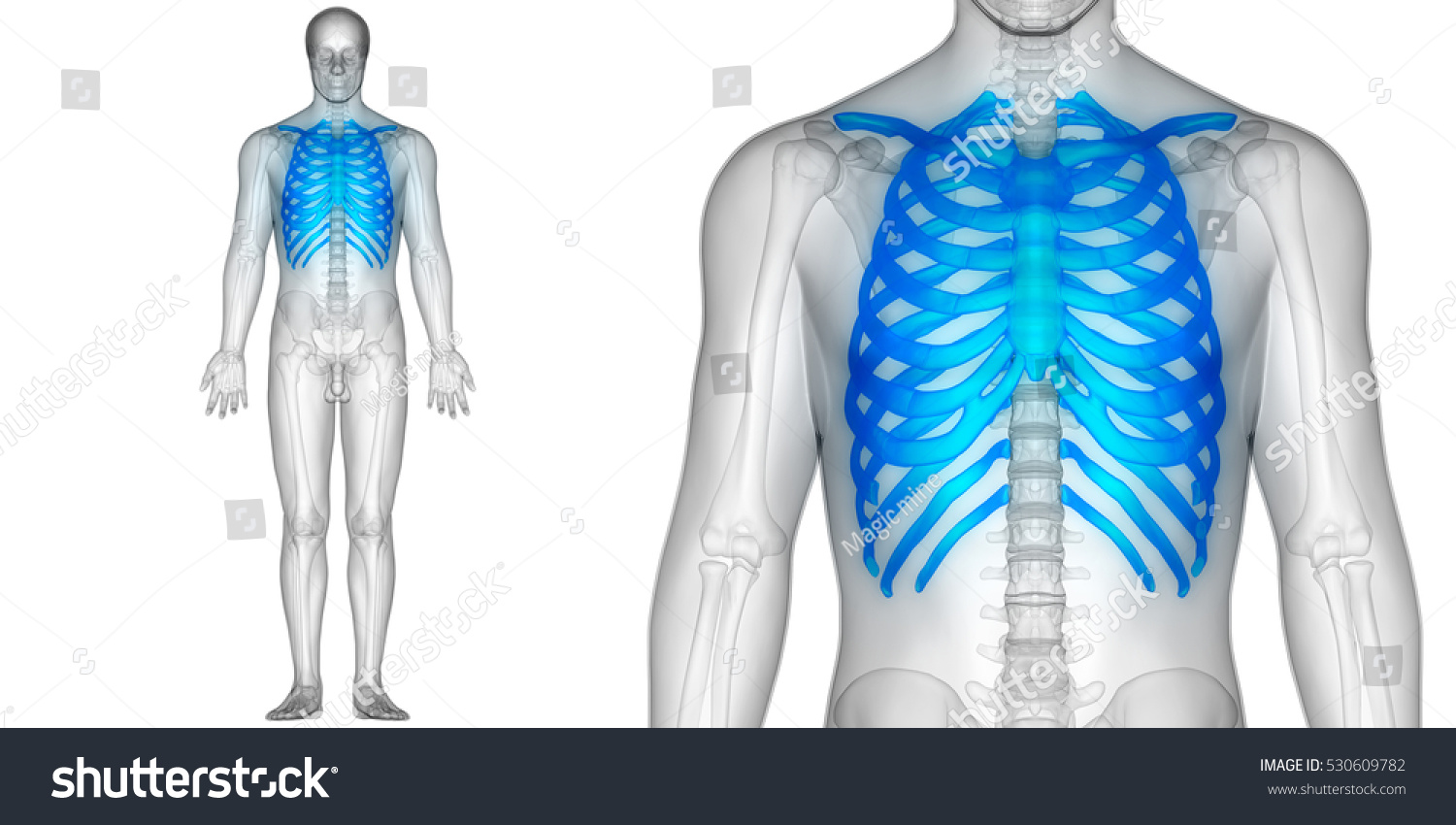 Human Skeleton Ribs With Vertebral Column Anatomy 3d Ez Canvas
