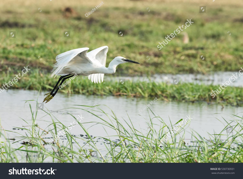 Little egret (Egretta garzetta) in flight on the Chobe River between Namibia and Botswana. Shallow depth of field.