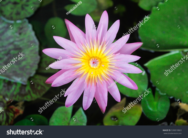 Lotus Flower And Lotus Flower Plants Ez Canvas