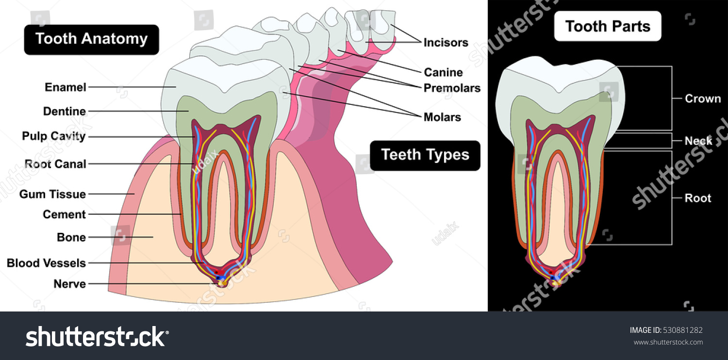 Vector Human Tooth Cross Section Anatomy Stock Vector Royalty Free