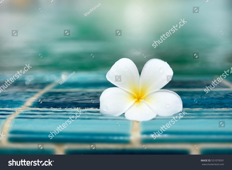 Perfect One White Plumeria Flower On Stock Photo Edit Now
