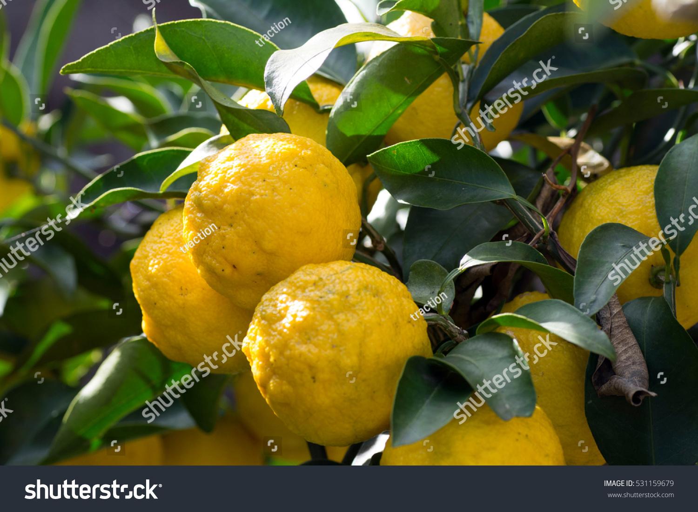 Trees Bear Citrona Small Citrus Fruitcitrus Stock Photo