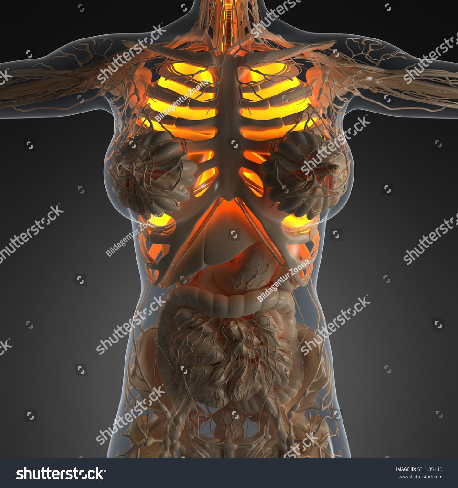 Science Anatomy Woman Body Glow Lungs Stock Illustration 531185140