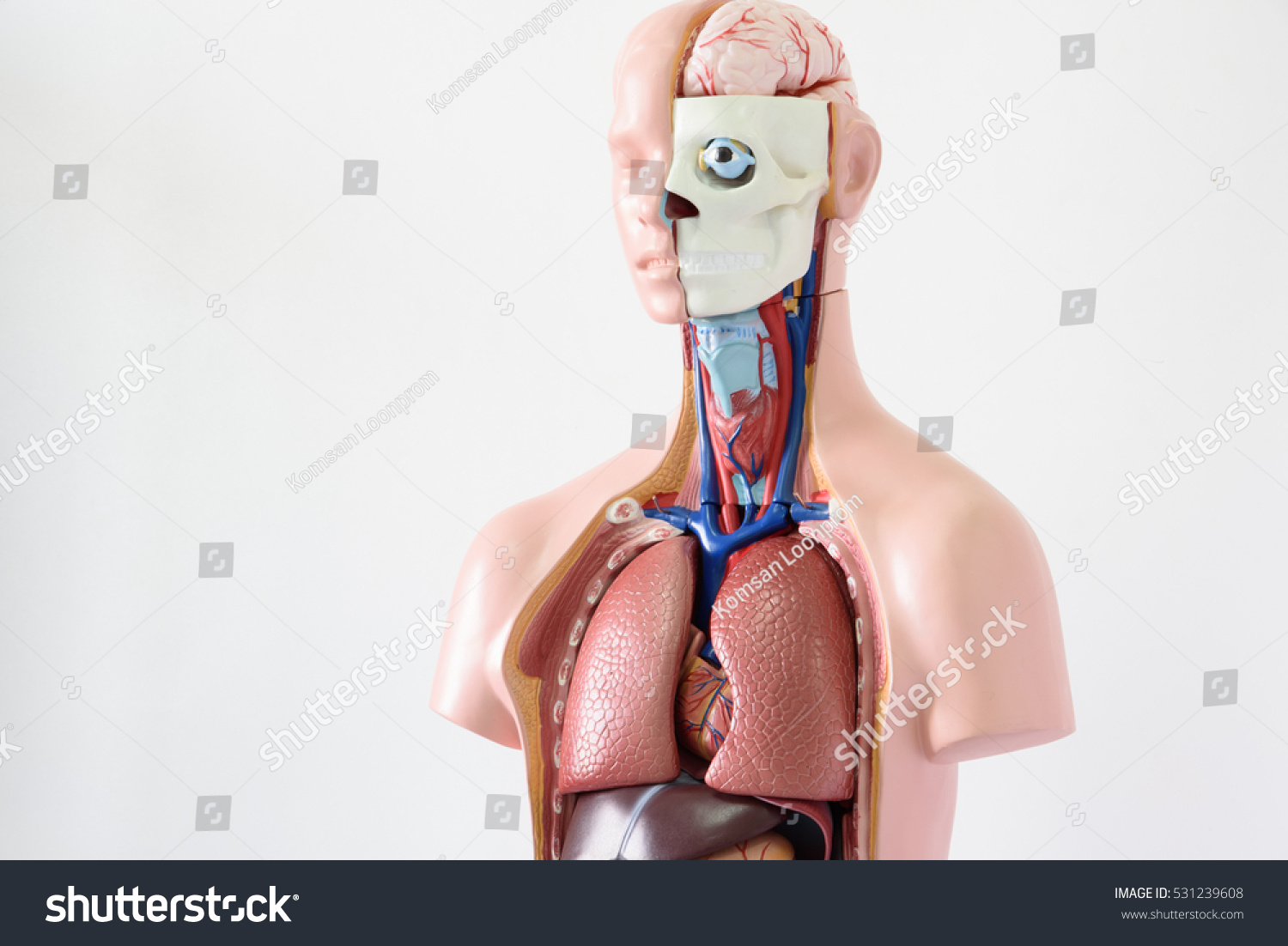 Upper Human Body Anatomy Model On Stock Photo (Edit Now) 531239608 ...