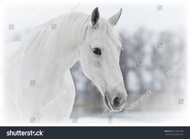 White Horse Portrait Close Winter Stock Photo Edit Now 531801388