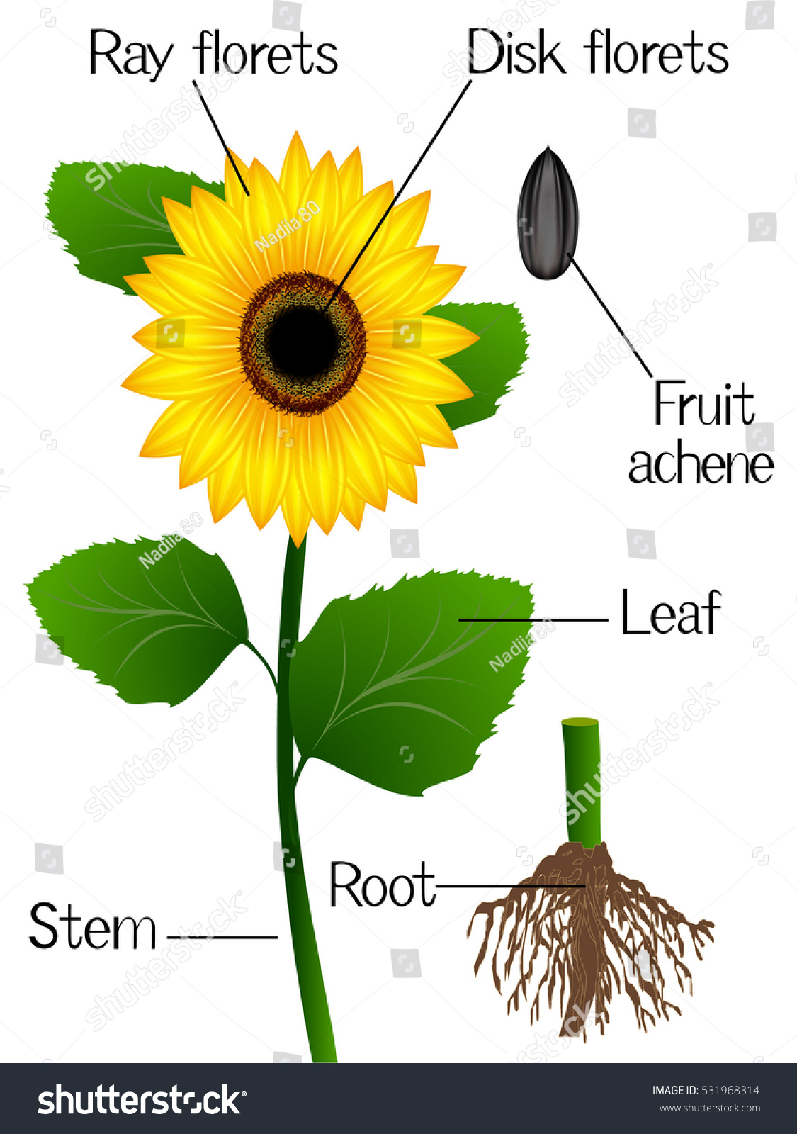 plant anatomy video with 531968314 on Cacao Tree Facts in addition Eplant moreover Reproductive System Of A Male Plant Chapter 2 The Male Reproductive System Review Of Medical furthermore Anat0043newBB furthermore 531968314.