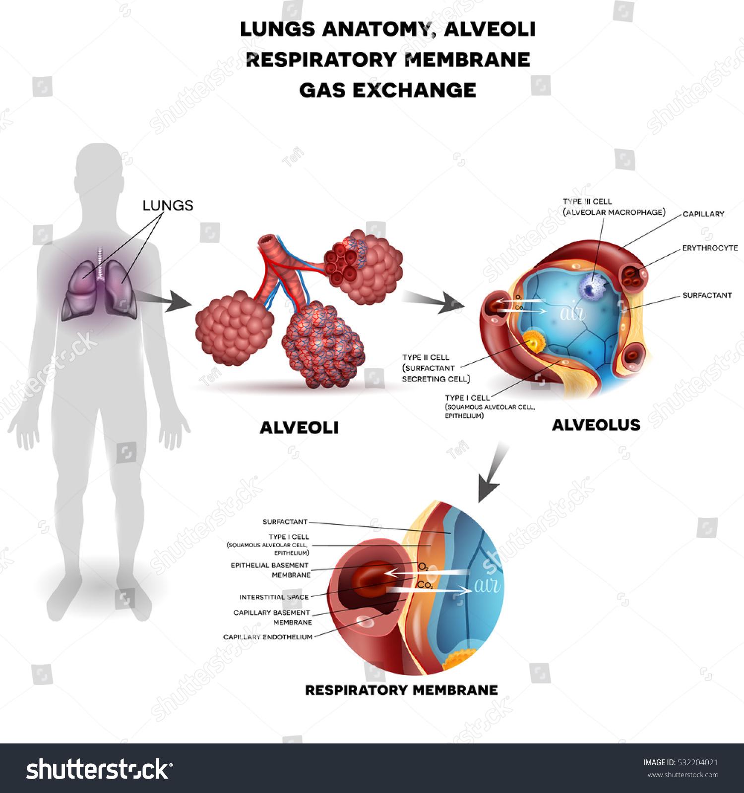 Respiratory System Organs Lungs Alveoli Respiratory Stock ...
