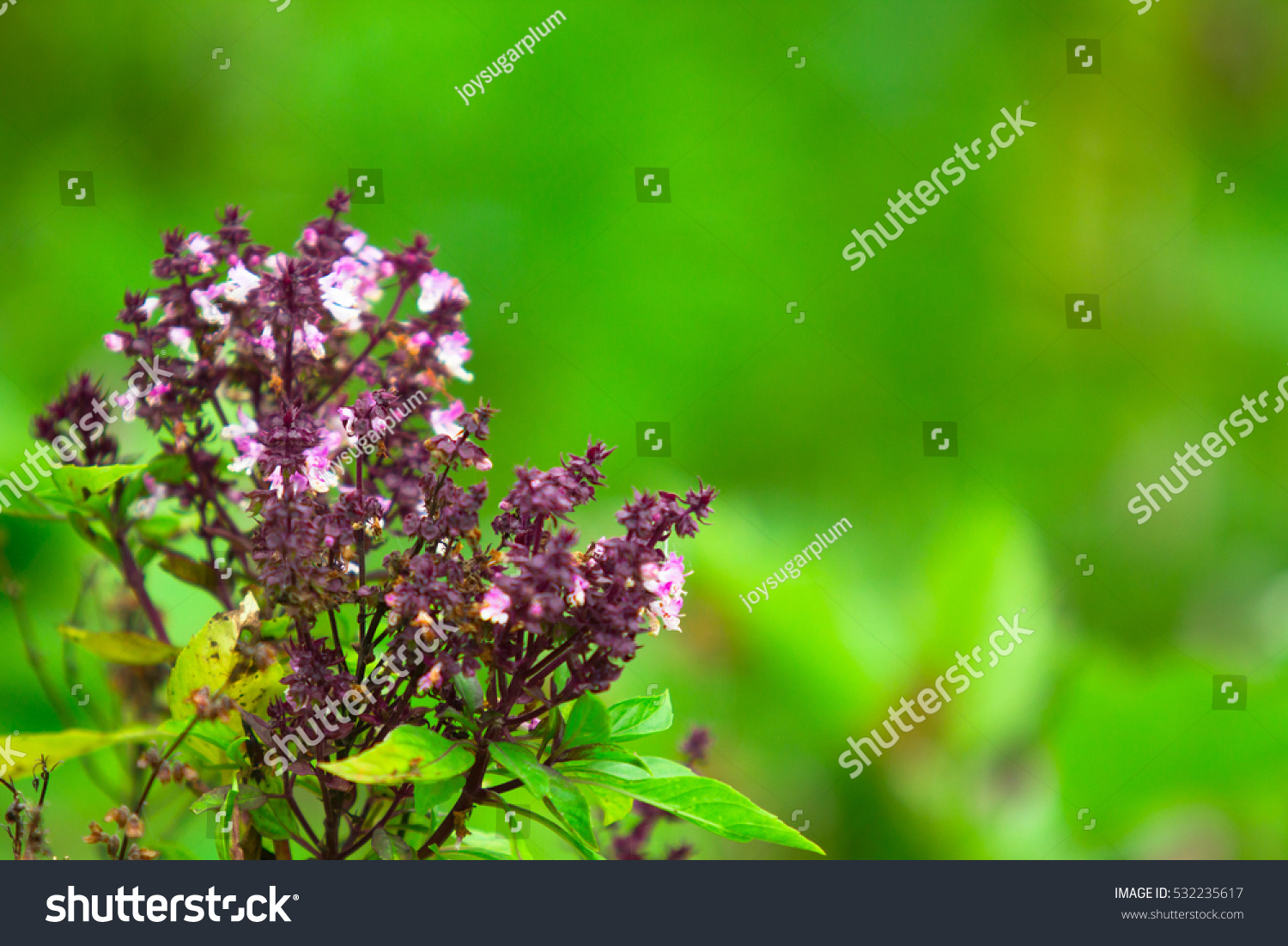 Pretty Purple Flowers On Holy Basil Stock Photo Edit Now 532235617