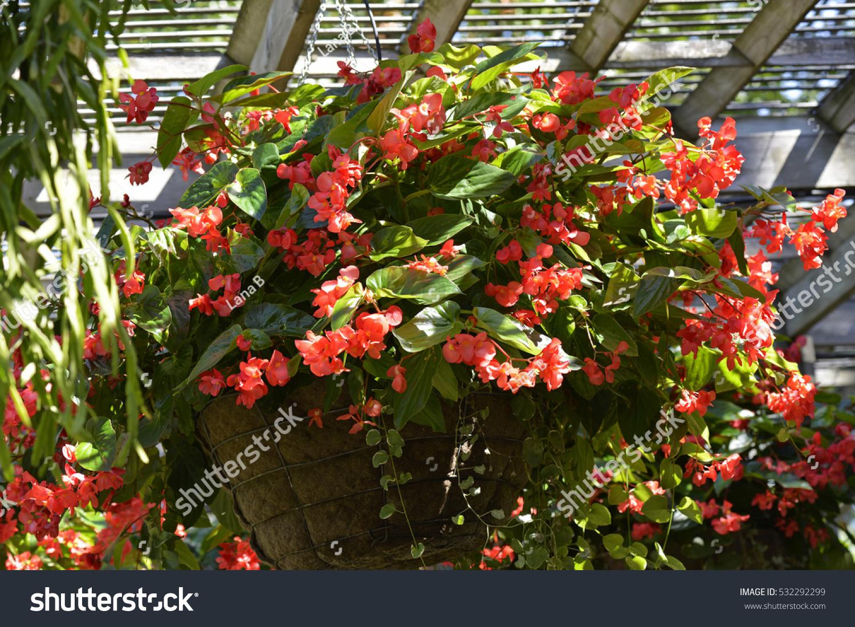 Beautiful Begonia Flowers In Hanging Basket Begonia Is A Genus Of